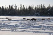 image of deer family  - deers in swedish Lapland in winter on snow