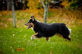 young Australian shepherd walks in autumn