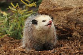 pic of opossum  - A Capture of a little opossum in a garden - JPG