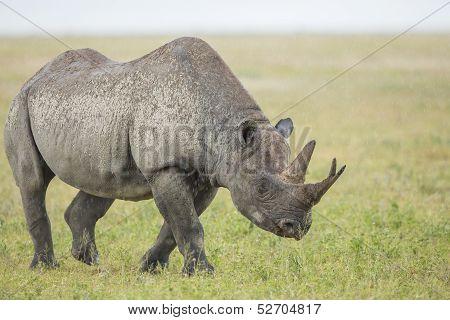 Male Black Rhino (diceros Bicornis) Tanzania
