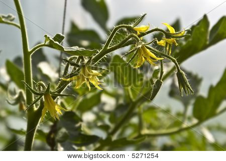 Flowerings Tomatoes