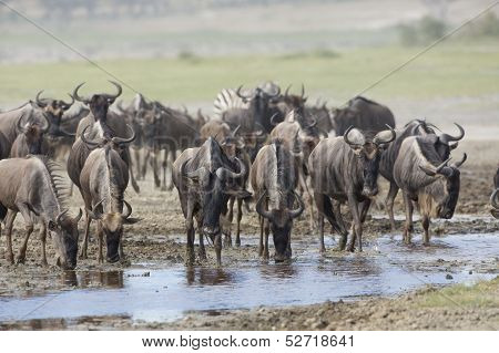 White Bearded Wildebeest On The Migration Drinking Water. Tanzania