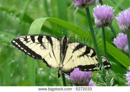 Swallowtail Butterfly On A Chive Flower