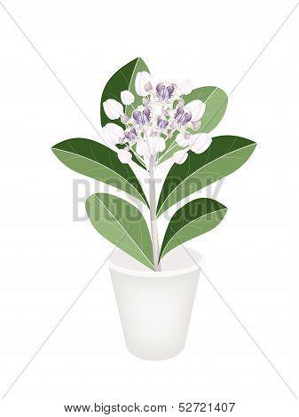 Fresh Calotropis Gigantea In A Flower Pot