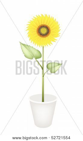 An Elegant Perfect Sunflower In A Flower Pot