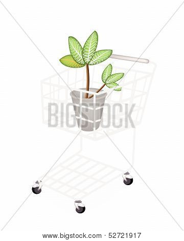 Dieffenbachia Picta Marianne Plant In A Shopping Cart