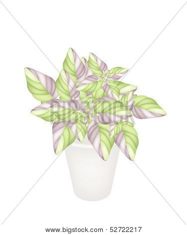 Beautiful Acanthaceae Plant In A Flower Pot