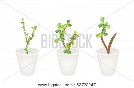 Three Lovely Bonsai Trees In Flower Pots