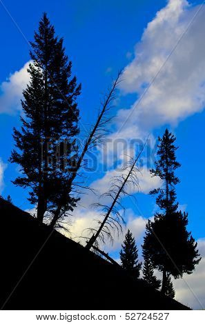 Sihouette of living and dead pine trees on mountainside in Yellowstone National Park