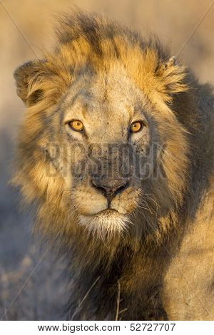 Portrait Of A Male Lion, South Africa