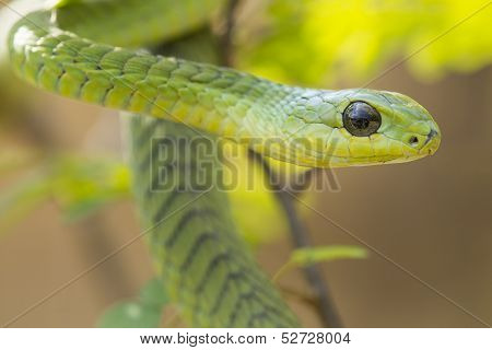 Male Boomslang Snake (dispholidus Typus), South Africa