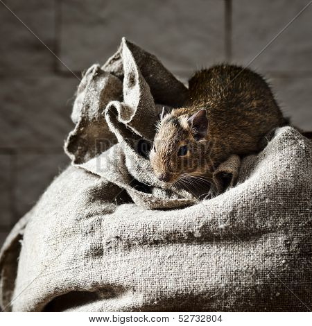 Degu (octodon Degus) Is A Small Caviomorph Rodent