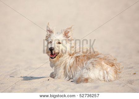 Golden Dog At The Beach