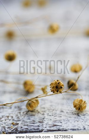 Flax after flowering on  wooden table - Linum austriacum