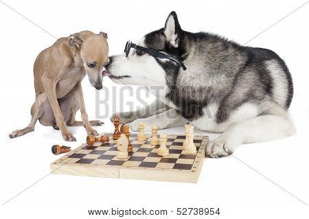 Two Dogs (italian Greyhound And Siberian Husky) Playing Chess