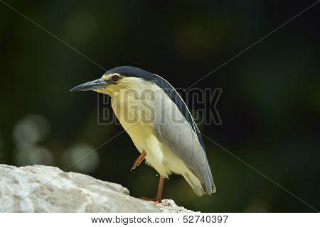 Black crowned night heron in  nature