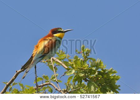 European bee-eater alighted on a branch, close-up