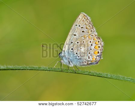 Blue butterfly outdoor (polyommatus icarus)