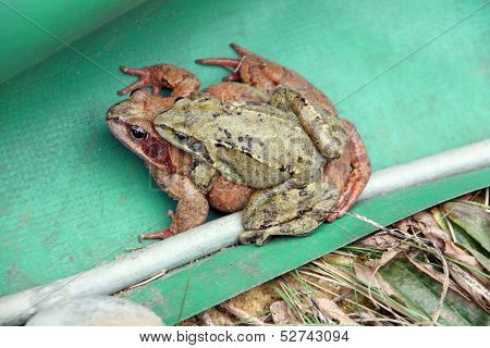 Two mating frogs