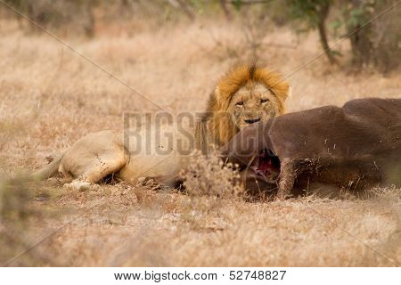 Lion Male With Buffalo Catch