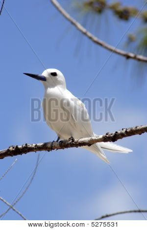 White Frigate Bird (gygis Alba) 0005