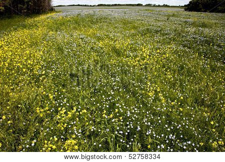 Flax And Canola Crop