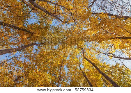 Crown Of Trees With Clear Blue Sky