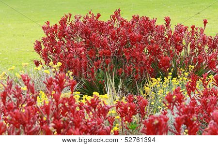 Red Kangaroo Paw flowers