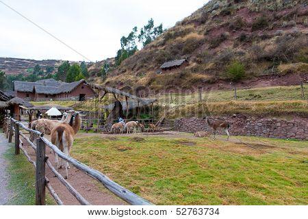 Farm Of Llama,alpaca,vicuna In Peru,south America. Andean Animal.llama Is South American Camelid