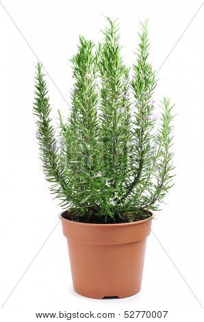 a rosemary plant in a flowerpot on a white background