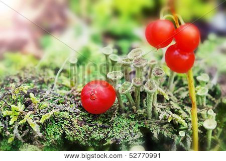 Little Green Mushrooms And Red Berries On The Moss On Natural Green Background