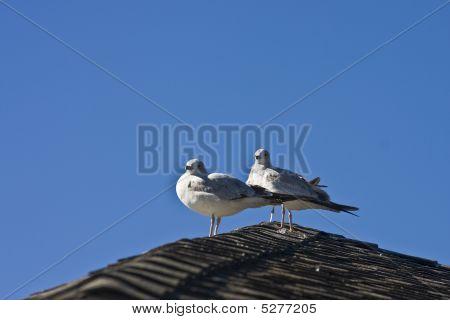 Dos gaviotas en techo