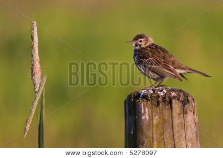 Small Bird Pipit
