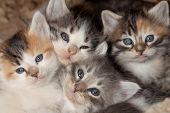 foto of snuggle  - Cute little kittens with blue eyes waking up from a nap and all snuggled together - JPG