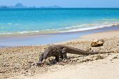 stock photo of komodo dragon  - Komodo Dragon walking at the beach on Komodo Island