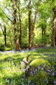image of irish moss  - a wood full of bluebells in ireland - JPG