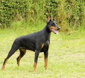stock photo of doberman pinscher  - A young beautiful black and tan Doberman Pinscher standing on the lawn while sticking its tongue out and looking happy and playful - JPG