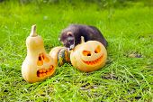 picture of ferrets  - Ferret and halloween pumpkins on the green grass - JPG