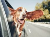 stock photo of basset hound  - a basset hound in a car vintage toned - JPG
