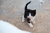 stock photo of black-cock  - very little black and white kitten with blue eyes and cocked tail - JPG
