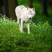 picture of white wolf  - Arctic Wolf  - JPG