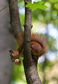 Red Squirrel On Tree With Walnut In Mouth, Looking Down