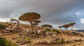 stock photo of plateau  - Dragon trees at Dixam plateau Socotra Island Yemen - JPG