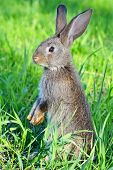 image of dwarf rabbit  - Young rabbit on field in green grass - JPG