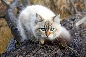 pic of racy  - Siberian nevsky mask cat in a autumn forest - JPG