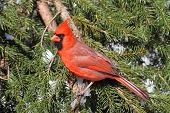 pic of cardinal  - Male Northern Cardinal (cardinalis cardinalis) on a Spruce branch covered with snow