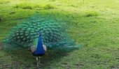Peacock bird colourful tail feathers