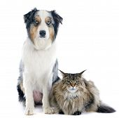 picture of coon dog  - purebred australian shepherd and maine coon in front of white background - JPG