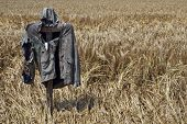 foto of scarecrow  - A field waiting for the fall harvest with traditional scarecrow in it - JPG