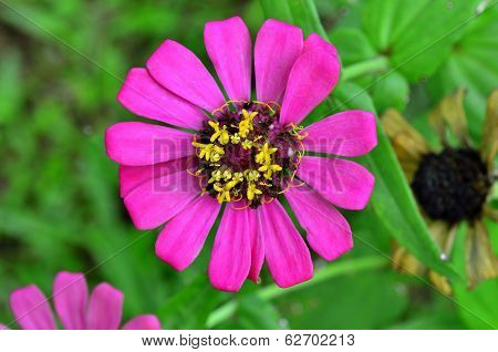 Pink Flower On Green Leafs As Bakground, Daisy Floral, Florist, Zinnia Elegans, Poorhouse Flower, Ev